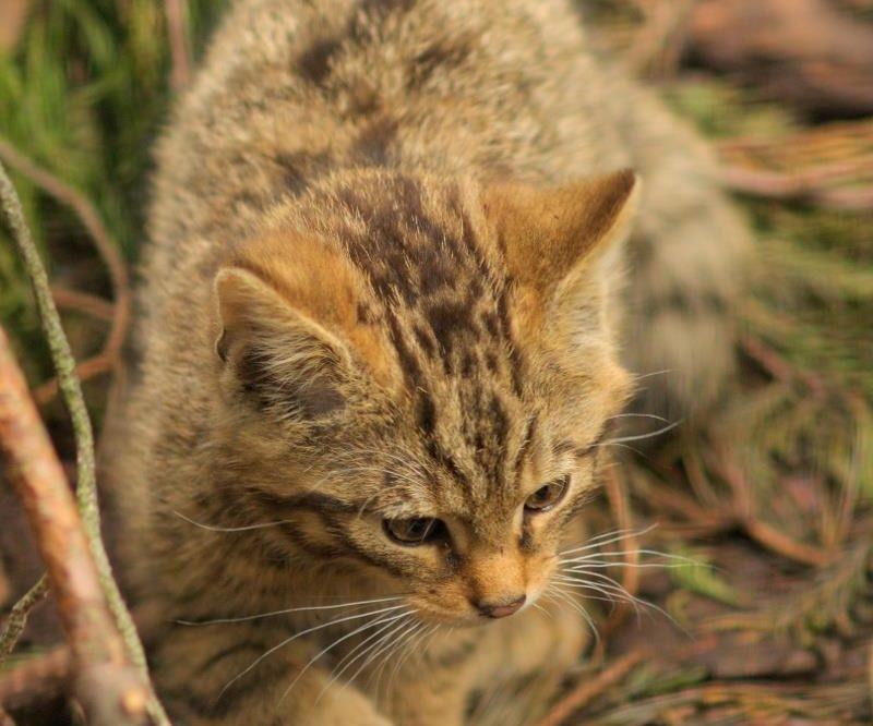 Wildcat kitten Highland Wildlife Park Whitebridge Hotel
